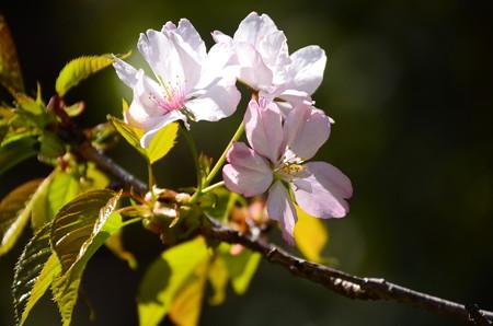 奥州里桜(オウシュウサトザクラ)