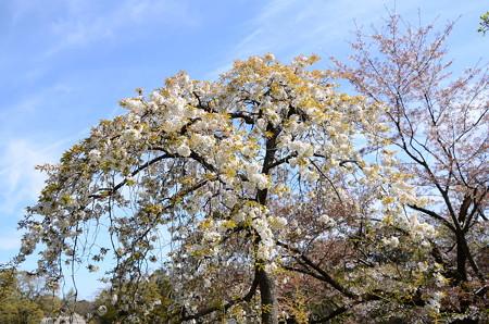 吉野枝垂(ヨシノシダレ)