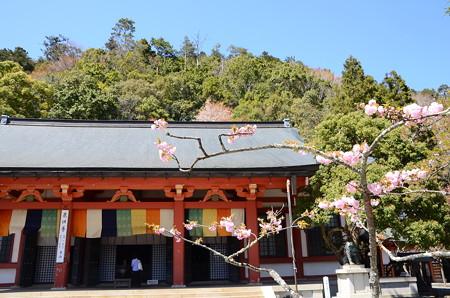 金堂前の八重桜