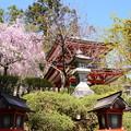 Photos: 多宝塔前の八重紅枝垂れ