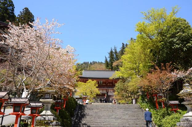 桜の鞍馬寺