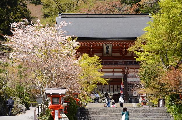 仁王門前の桜