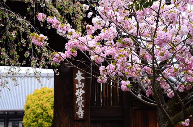 妙覚寺門前の桜