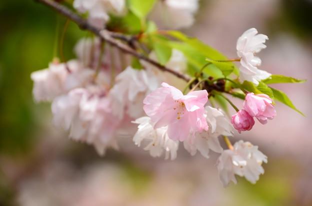 真ん中の桜