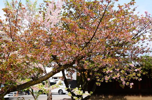 門西側の桜たち