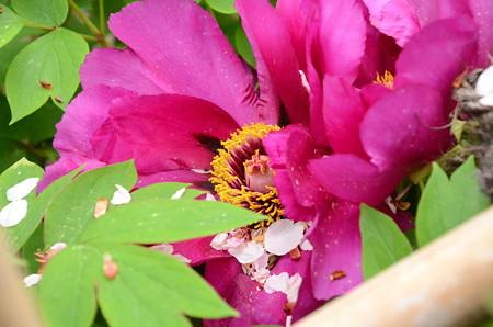 散り桜と牡丹