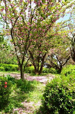 ピンクに染まる品種見本園