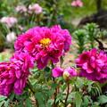Photos: 北山門脇花壇の牡丹