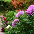 Photos: 牡丹園