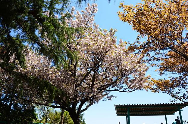 みはらしの丘前の大島桜