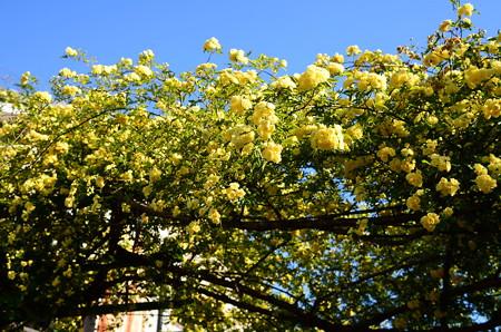 黄木香薔薇(キモッコウバラ)