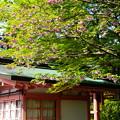 法華総持院の八重桜