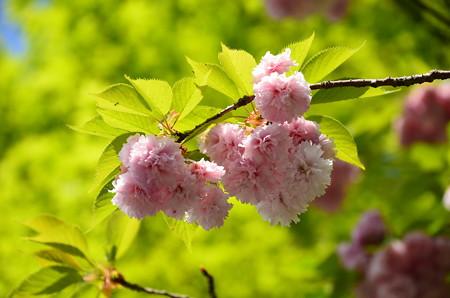 まだ綺麗な八重桜