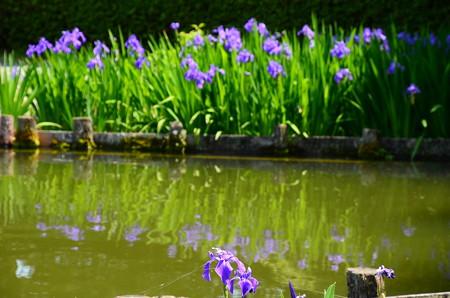 咲耶池の杜若