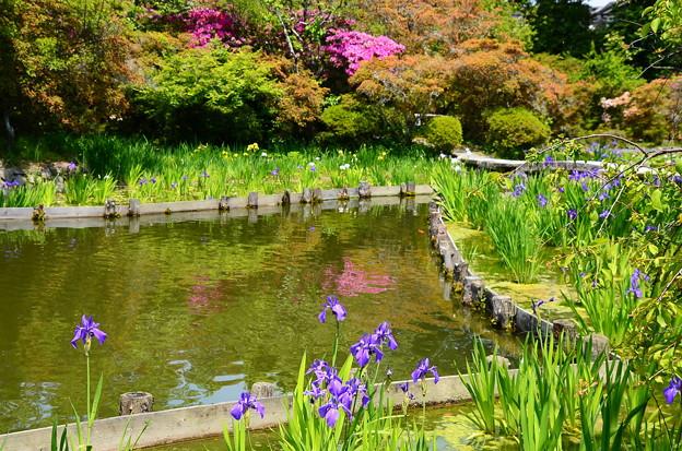 杜若と躑躅の咲耶池