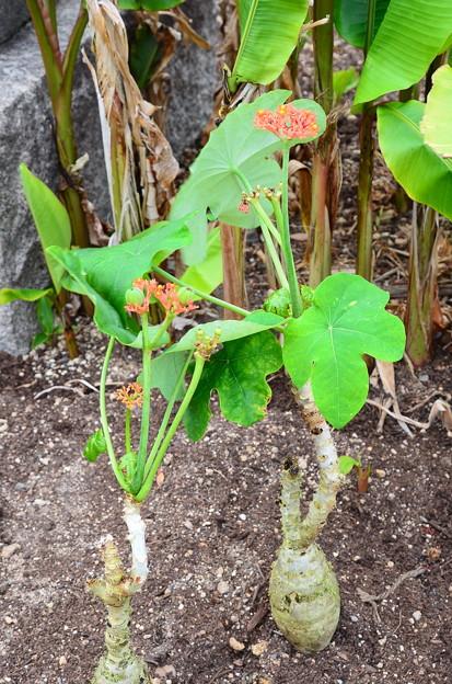 珊瑚油桐(サンゴアブラギリ)
