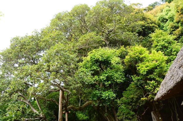 山桃の大木