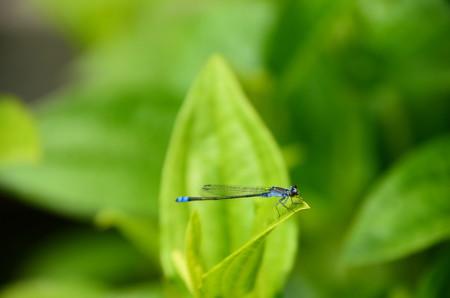 黒糸蜻蛉(クロイトトンボ)
