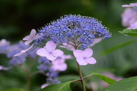 山紫陽花(ヤマアジサイ)