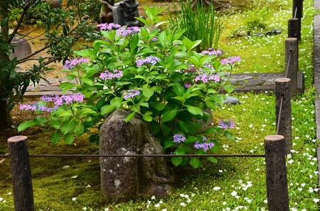 紫陽花と銀盃草(ギンパイソウ)