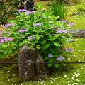 Photos: 紫陽花と銀盃草(ギンパイソウ)