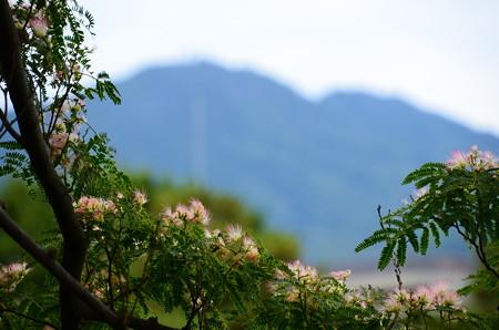比叡山を背景に咲く合歓