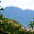 Photos: 比叡山を背景に咲く合歓
