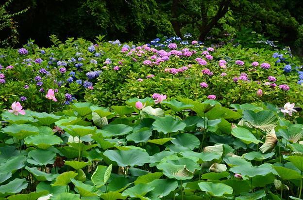 紫陽花園の蓮と紫陽花