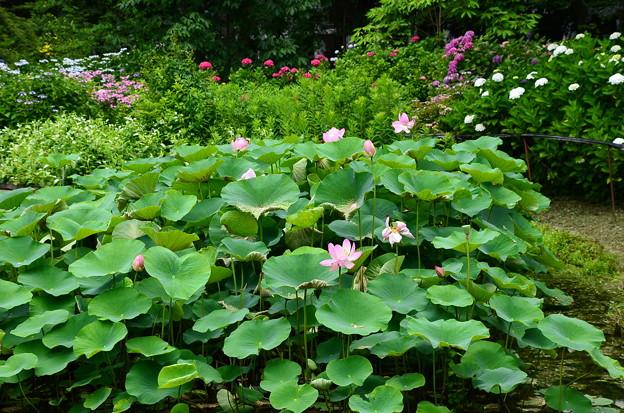 紫陽花園の蓮