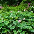 Photos: 紫陽花園の蓮