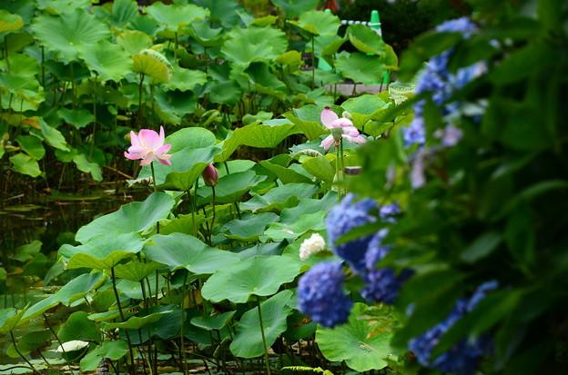 Photos: 紫陽花の奥に
