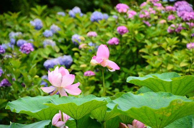 紫陽花を背景に咲く