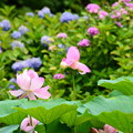 Photos: 紫陽花を背景に咲く