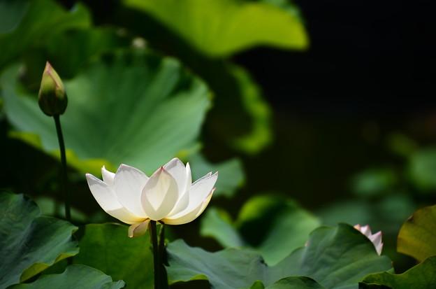 Photos: 金輪蓮(キンリンレン)