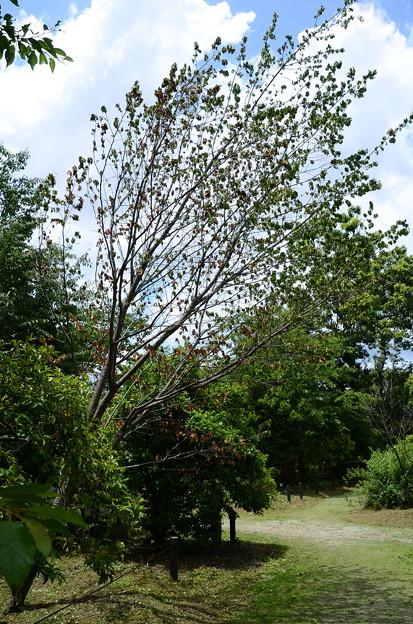 傾いた奈良の八重桜
