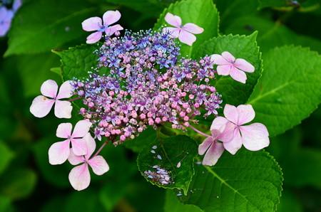 ツートンカラーの紫陽花