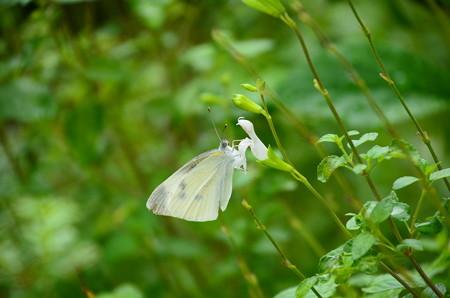 サルビアに止まる紋白蝶(モンシロチョウ)