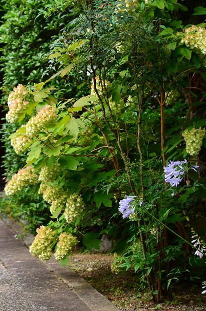 アガパンサスと柏葉紫陽花