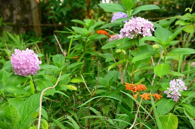 紫陽花とモントブレチア