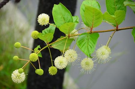 玉傘木(タマガサノキ)