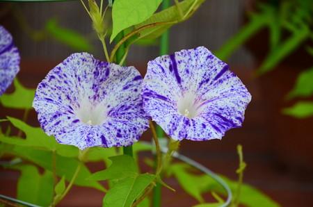 黄鍬形葉紫吹掛絞丸咲