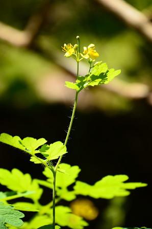 草の黄(クサノオウ)