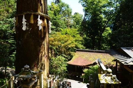 由岐神社の大杉
