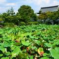 Photos: 蓮池の夏