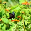 チトニアに止まる黒揚羽(クロアゲハ)