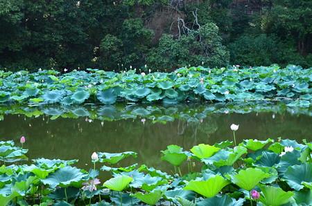 小倉池の蓮