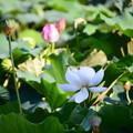 Photos: 小倉池の蓮