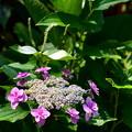 紫陽花と半夏生