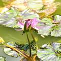 Photos: 睡蓮に止まる猩々蜻蛉(ショウジョウトンボ)