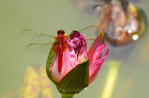睡蓮に止まる猩々蜻蛉(ショウジョウトンボ)